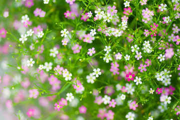 Close up of pink and white Gypsophila flowers.
