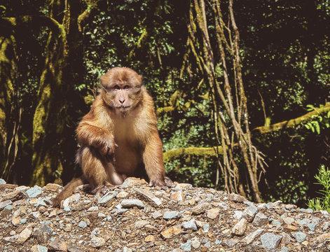 Assamese Macaque (macaca assamensis), Bhutan.