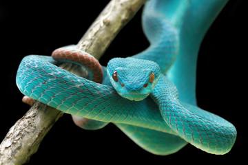 Blue viper snake on a branch