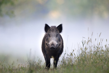 Wild boar in fog