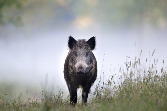 Wild boar in fog