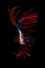 Portrait of a betta fish