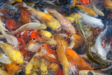 Colorful fish or fancy carp blur
