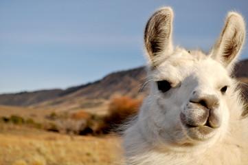 Tuinposter Lama Patagonian Llama