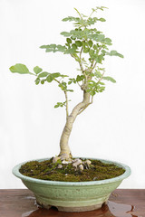 Common ash (fraxinus excelsior) bonsai on a wooden table and white background