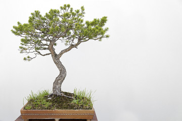 Scots pine (pinus sylvestris) bonsai on a wooden table and white background