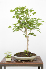 Ginkgo biloba bonsai on a wooden table and white background