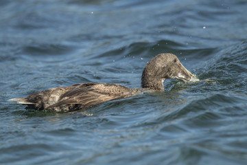 Eider duck, in the sea looking for food, close up
