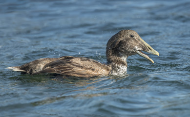 Eider duck, in the sea eating a crab, close up