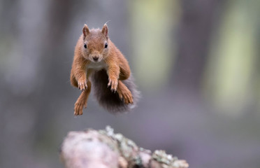Red squirrel (sciurus vulgaris) jumping