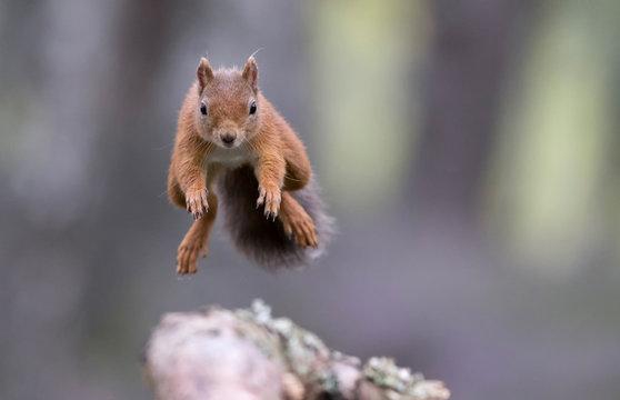 Red squirrel (sciurus vulgaris) jumping