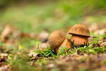 Neoboletus luridiformis. Edible mushrooms with excellent taste.