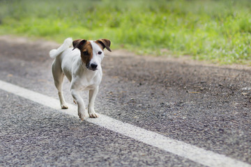 Jack Russell on the road