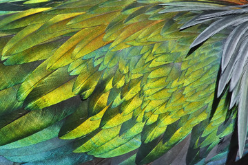 Texture of feather's Nicobar pigeon Caloenas nicobarica Wall mural