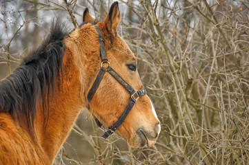 Brown horse with black mane portrait