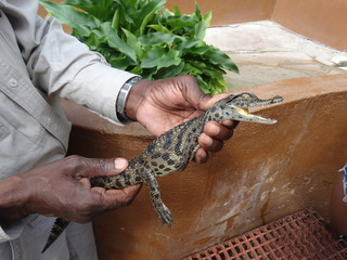 Baby crocodile in the hands of a ranger