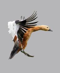 The flight of a wild duck.