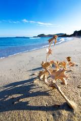 Pianta secca sulla spiaggia di Villasimius