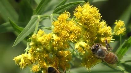 Fotoväggar - Honey Bee (Apis dorsata) on a yellow Goldenrod flower (Asteraceae Aster)