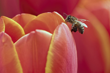 Bee on tulip flower