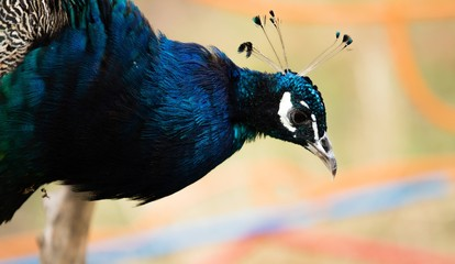 the head of a peacock bird