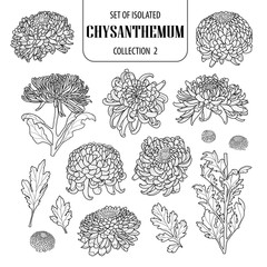 Set of isolated chrysanthemum collection 2. Cute flower illustration in hand drawn style. Black outline and white plane on white background.
