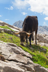 The cow is grazed in mountains