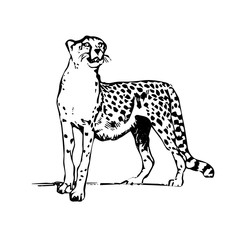 Silhouette drawing leopard, on white background.