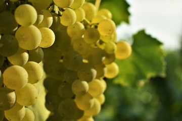 Hanging bunch of grapes in the sun with blurred vineyard background