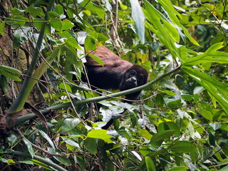 Mantled howler monkey into tropical vegetation, Costa Rica, Central America