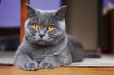 British Shorthair Cat lying on the floor Fotoväggar
