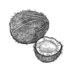 Vintage engraving coconut.