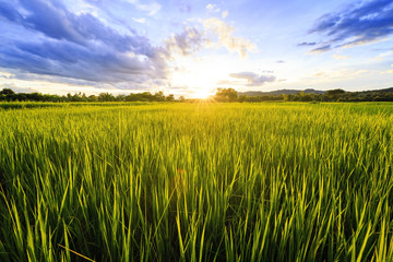 Sunshine at rice field with sky clouds