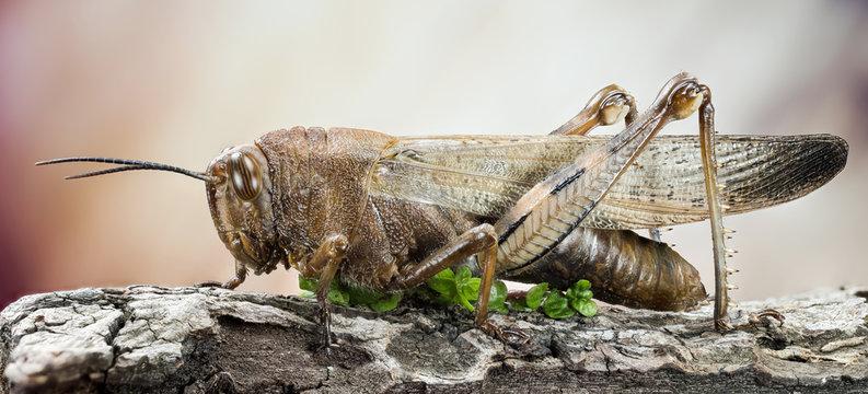 Focus Stacking - Migratory Locust, Locust, Locusta migratoria