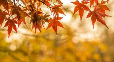 autumnal background, slightly defocused red maple leaves with water drops
