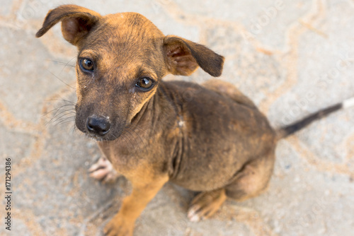 Little Indian pariah dog in Tissamaharama, Sri Lanka  The puppy is a