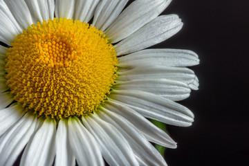 White Daisy on Dark Background
