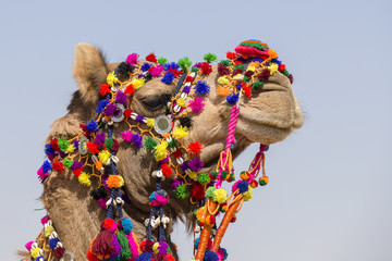 Decorated camel at Desert Festival in Jaisalmer, Rajasthan, India.
