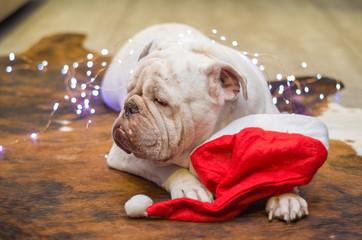 Lindo Cachorro com touca de Papai Noel, Bulldog Inglês vestido de papai noel, roupa de natal.