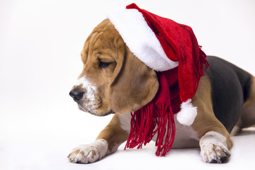 dog beagle in the cap of Santa Claus