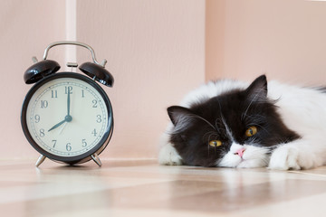 portrait of black and white Persian kitty cat wake up in the morning with vintage alarm clock. lazy cat doesn't want to get up early on Monday morning.