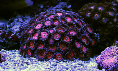 Pink ball zoa colony corals