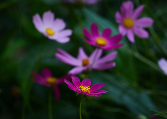 Beautiful pink Cosmos flowers in an art processing on dark background
