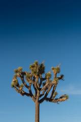 Fototapete - Top of Joshua Tree on Blue Sky