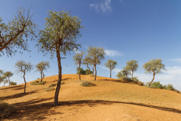 Sand dune with trees and blue sky in the morning at Abu Dhabi, UAE.