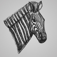 Engraving style zebra head. African horse in sketch style. Vector illustration.