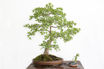 Montpellier maple (Acer monspessulanum) bonsai on a wooden table and white background