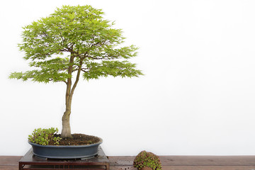 Acer palmatum sango kaku bonsai on a wooden table and white background
