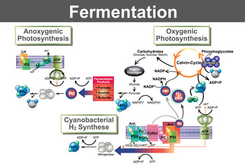 Fermentation is a metabolic process that converts sugar to acids, gases or alcohol. Info graphic Vector.