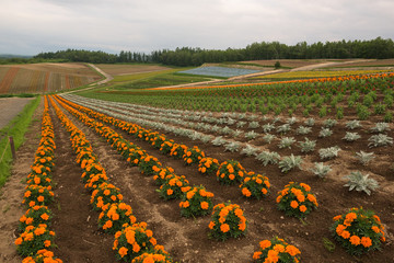 Flower fields on the hills around Biei, Hokkaido, Japan
